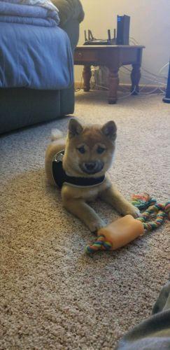 Shiba Inu Puppies for sale in Racine, WI, USA. price 1000USD
