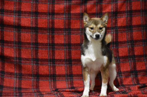 Shiba Inu Puppies for sale in Millersburg, OH 44654, USA. price 799USD
