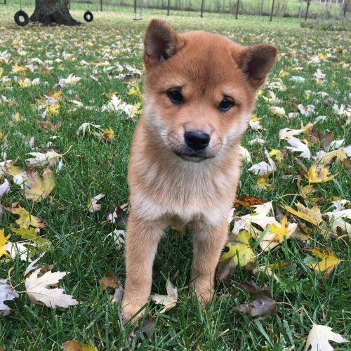 Shiba Inu Puppies for sale in Phoenix, AZ, USA. price -USD
