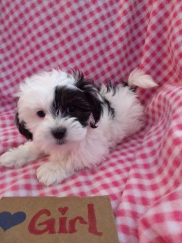 Shih-Poo Puppies for sale in Millington, MI 48746, USA. price 800USD