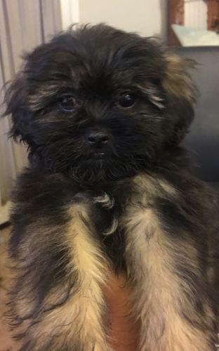 Shih-Poo Puppies for sale in San Fernando, CA, USA. price -USD