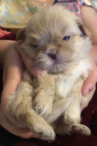 Shih-Poo Puppies for sale in San Fernando, CA, USA. price 999USD
