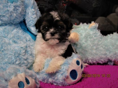 Shih-Poo Puppies for sale in Wooster, OH 44691, USA. price 875USD
