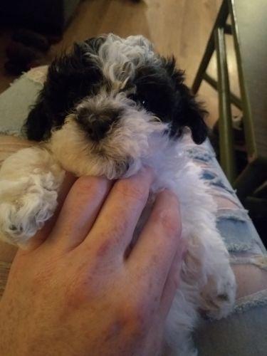 Shih-Poo Puppies for sale in Millington, MI 48746, USA. price 700USD