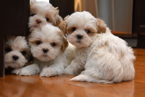 shih tzu puppies for sale indianapolis shih tzu sale marion county hoobly us 3968