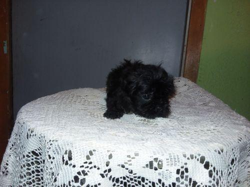 Shih Tzu Puppies for sale in Waterloo, IA, USA. price 650USD
