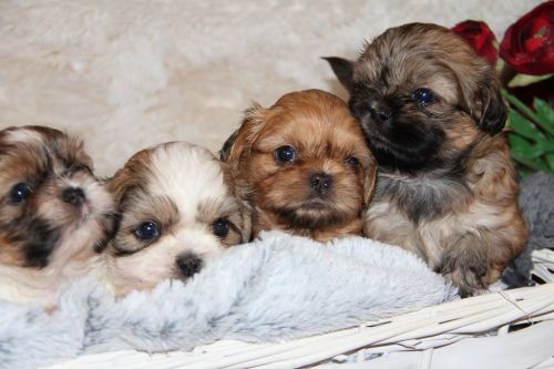 Shih Tzu Puppies Sale near Florida within 500 miles