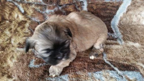 Puppies Sale Wisconsin | Hoobly US