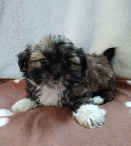 Other Puppies Sale | Indianapolis, IN #2750 | Hoobly US