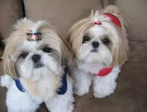 Shih Tzu Puppies Sale   Waterloo, IA #6799   Hoobly US