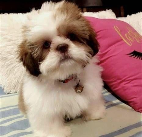 Shih Tzu Puppies Sale Near Statesville Nc 28677 Usa Within 50 Miles