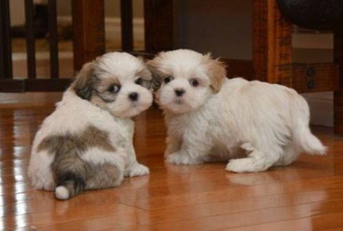 Shih Tzu Puppies for sale in Colorado Springs, CO, USA. price 500USD