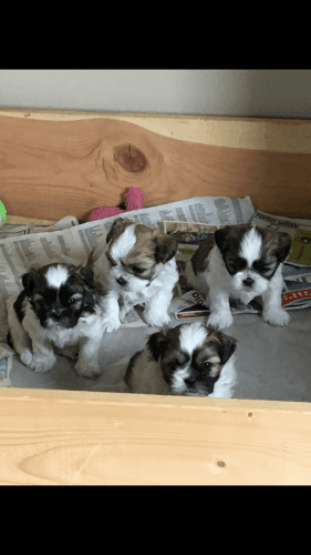 Shih Tzu Puppies for sale in Ossian, IN 46777, USA. price 900USD