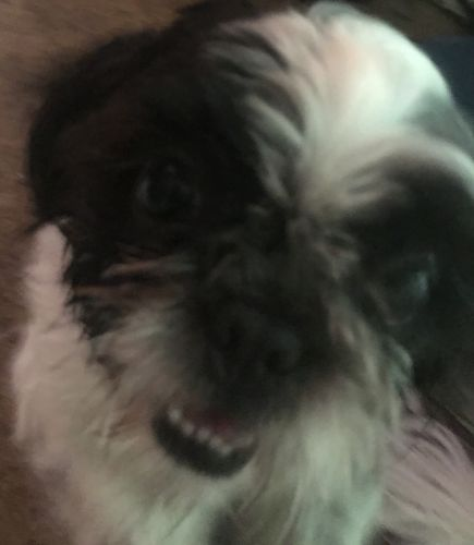 Shih Tzu Puppies for sale in Jarvisburg, NC 27939, USA. price 200USD