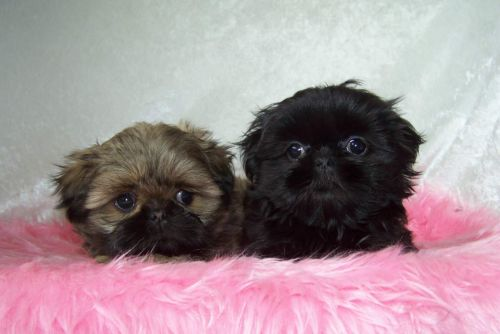 Shih Tzu Puppies for sale in New York, NY, USA. price 500USD