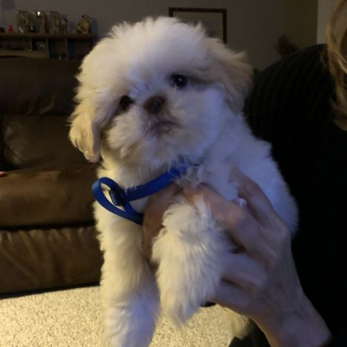 Shih Tzu Puppies for sale in Madison, OH 44057, USA. price 850USD