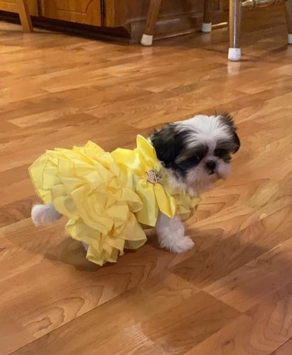 Shih Tzu Puppies for sale in Los Angeles, CA, USA. price 600USD