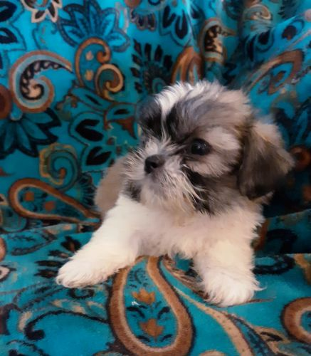 Shorkie Puppies for sale in Fenton, MI, USA. price 500USD