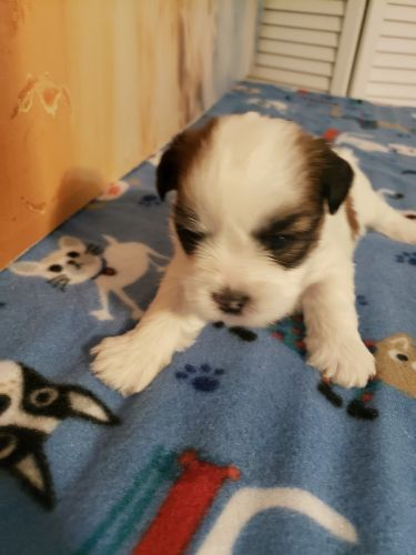 Shorkie Puppies for sale in Middletown, DE, USA. price 600USD