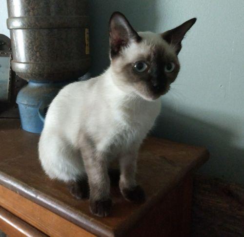 Siamese Cats for sale in Harrison, MI 48625, USA. price 50USD