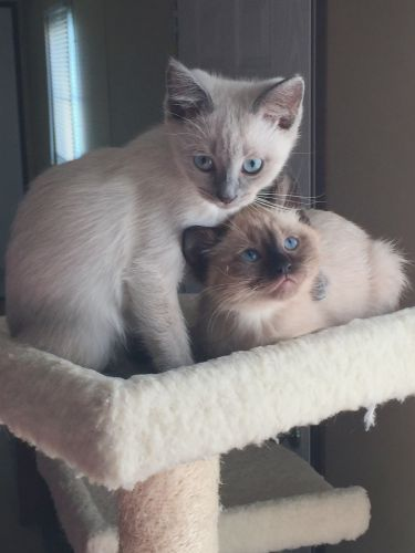 Siamese Cats for sale in Evansville, IN, USA. price 300USD