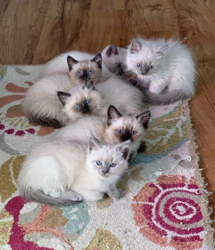 Siamese Cats for sale in Evansville, IN, USA. price 250USD