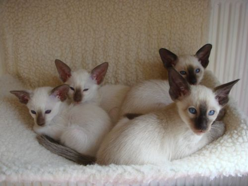 Siamese Cats for sale in Houston, TX 77005, USA. price 550USD