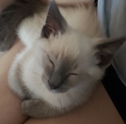 Siamese Cats for sale in Long Beach, CA, USA. price 500USD