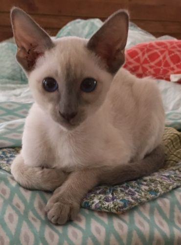 Siamese Sale Ohio Hoobly Us