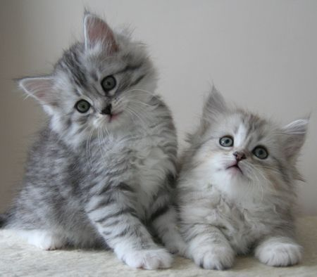 Siberian Cats for sale in Indianapolis, IN, USA. price -USD