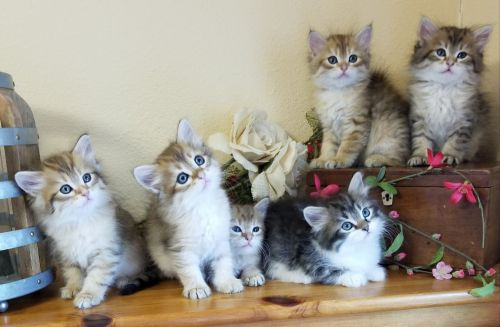 Siberian Cats for sale in Carlton, MN 55718, USA. price 950USD