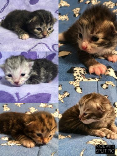 Siberian Cats for sale in Bellingham, WA, USA. price 1400USD