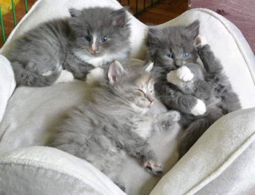 Siberian Cats for sale in Rockford, IL, USA. price 600USD