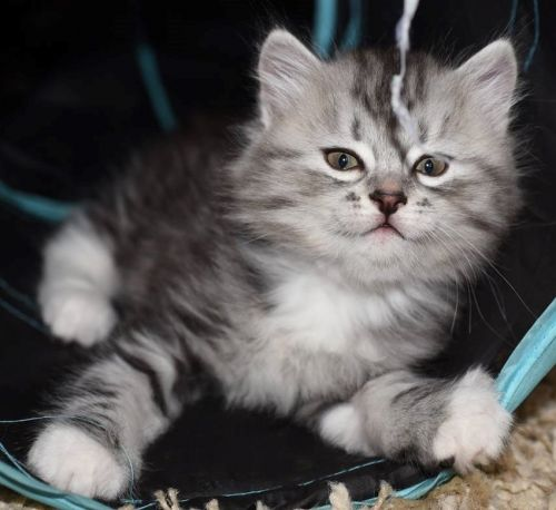 Siberian Cats for sale in Pigeon Forge, TN, USA. price 975USD