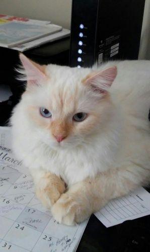 Siberian Cats for sale in Foxborough, MA, USA. price 900USD
