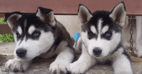 Siberian Husky Puppies for sale in Lewes, DE 19958, USA. price 350USD