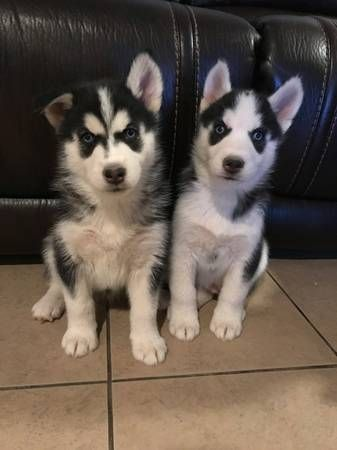 Puppies Sale Wichita | Hoobly US