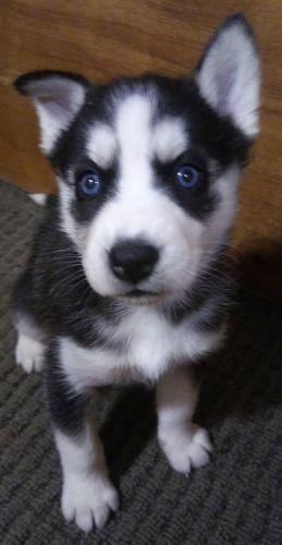 Siberian Husky Puppies Sale | Houston, TX #5866 | Hoobly US