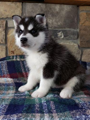 Siberian Husky Puppies for sale in Buffalo, MN 55313, USA. price 800USD