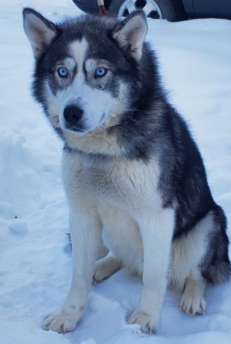 Siberian Husky Puppies for sale in Delta Junction, AK, USA. price 650USD