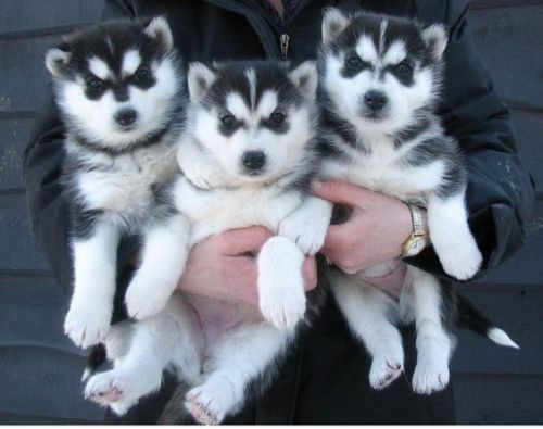 Siberian Husky Puppies for sale in Colorado Springs, CO, USA. price 500USD