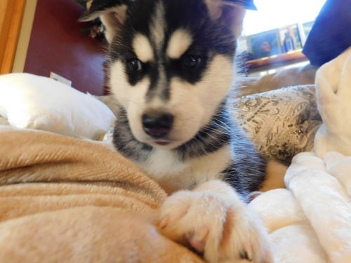 Siberian Husky Puppies for sale in Thompsonville, MI 49683, USA. price 900USD