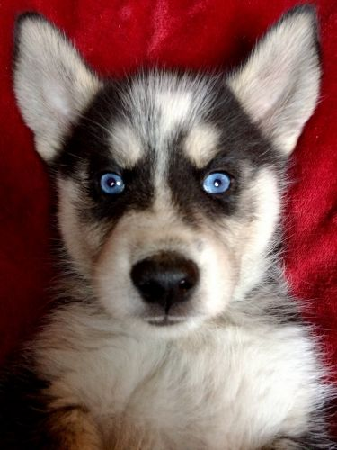 Siberian Husky Puppies for sale in Los Angeles, CA, USA. price 600USD