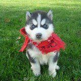 Siberian Husky Puppies for sale in Bozeman, MT 59715, USA. price 450USD