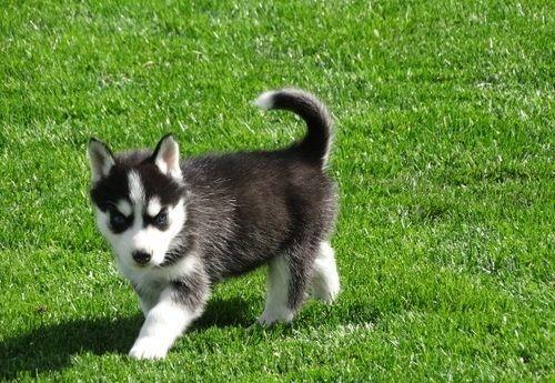 Siberian Husky Puppies for sale in Bozeman, MT 59715, USA. price 500USD