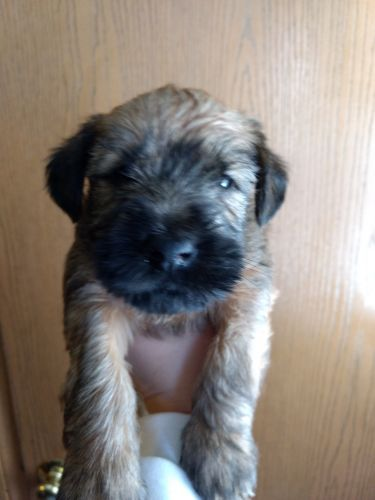 Soft-Coated Wheaten Terrier Puppies for sale in Columbus, OH, USA. price 1USD