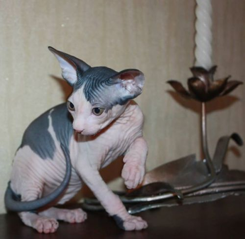 Sphynx Cats for sale in Seattle, WA, USA. price 350USD