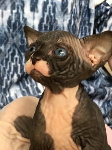Sphynx Cats for sale in Hollis, NH 03049, USA. price -USD