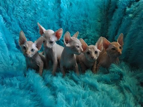 Sphynx Cats for sale in New York Ave NW, Washington, DC, USA. price 550USD