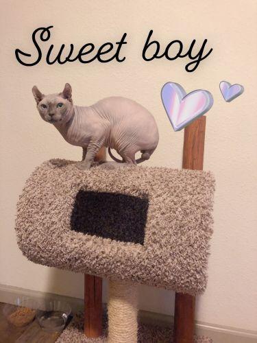 Exotic Shorthair Cats Sale | Celina, OH #6689 | Hoobly US